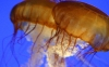 amazing-jellyfish-hd-wallpapers-82