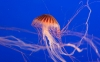 amazing-jellyfish-hd-wallpapers-85