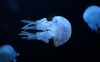 amazing-jellyfish-hd-wallpapers-86