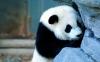 Amazing Panda HD Wallpaper