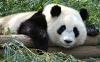 Панда в китайском зоопарке притворилась беременной, чтобы получать больше вкусной еды.