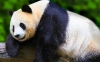 Amazing Panda HD Wallpaper