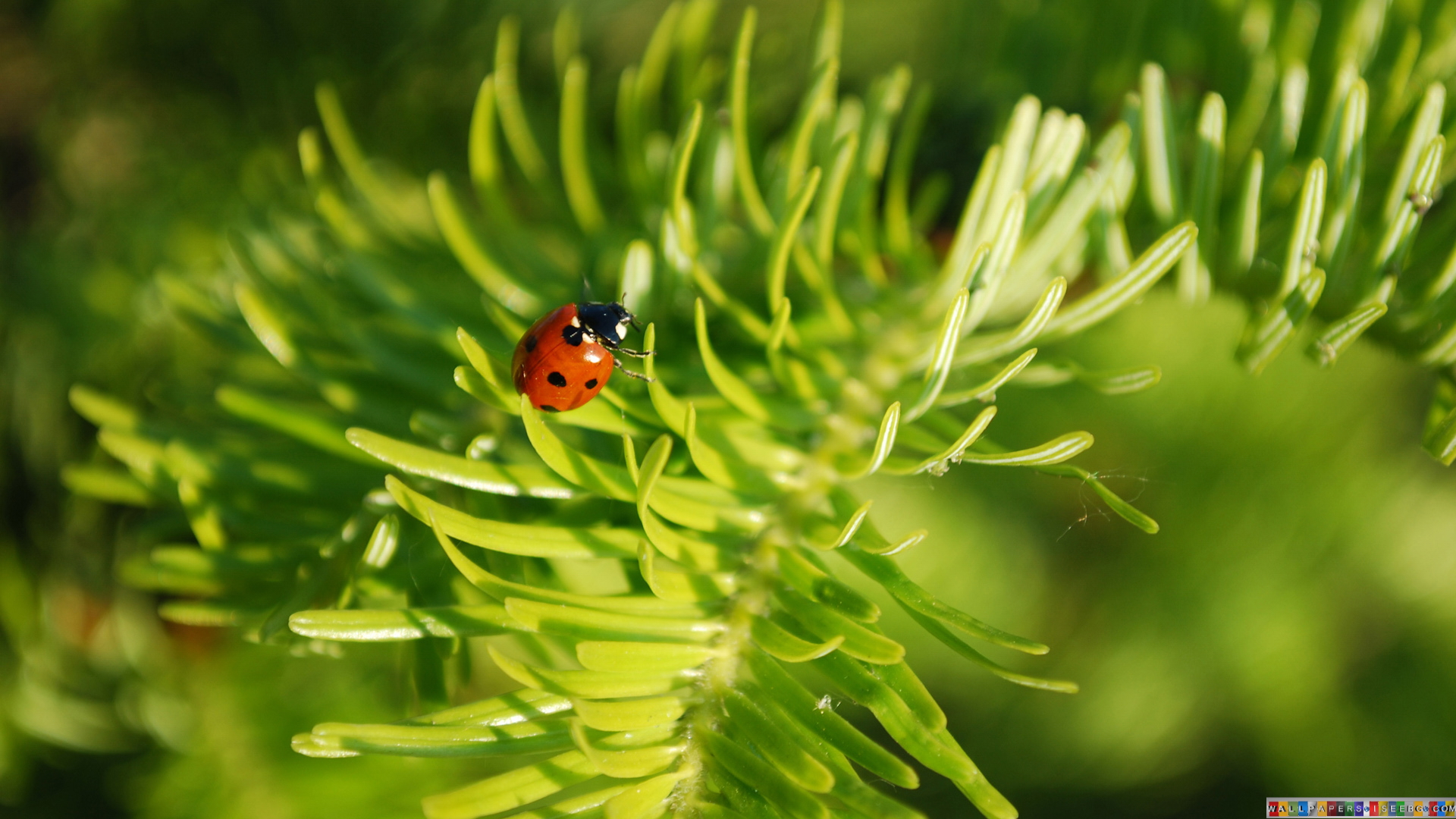 Beautiful Ladybird HD Wallpaper