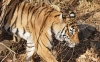 beautiful-tigers-hd-wallpapers-251