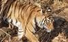 beautiful-tigers-hd-wallpapers-251