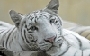 beautiful-tigers-hd-wallpapers-254