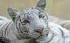 beautiful-tigers-hd-wallpapers-254