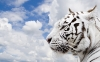 beautiful-tigers-hd-wallpapers-255