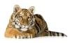 beautiful-tigers-hd-wallpapers-256