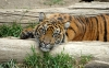 beautiful-tigers-hd-wallpapers-259