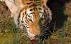 beautiful-tigers-hd-wallpapers-260