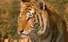 beautiful-tigers-hd-wallpapers-261