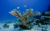 Butterflyfishes swim above a stony coral, Acropora