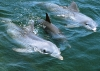 dolphins-underwater-ultra-hq-wallpapers-247