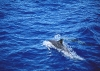 dolphins-underwater-ultra-hq-wallpapers-250