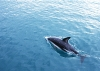 dolphins-underwater-ultra-hq-wallpapers-251