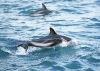 dolphins-underwater-ultra-hq-wallpapers-252