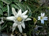 edelweiss-hq-wallpapers-009