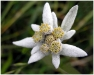 edelweiss-hq-wallpapers-010