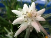edelweiss-hq-wallpapers-012