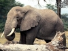 elephant-hq-pictures-and-wallpapers-031