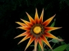 gerbera-hq-pictures-and-wallpapers-5368