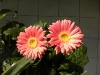gerbera-hq-pictures-and-wallpapers-5369