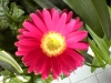 gerbera-hq-pictures-and-wallpapers-5370