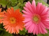 gerbera-hq-pictures-and-wallpapers-5372