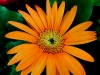 gerbera-hq-pictures-and-wallpapers-5373