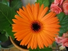 gerbera-hq-pictures-and-wallpapers-5374