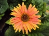 gerbera-hq-pictures-and-wallpapers-5375