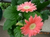 gerbera-hq-pictures-and-wallpapers-5376