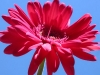 gerbera-hq-pictures-and-wallpapers-5377