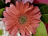 gerbera-hq-pictures-and-wallpapers-5378