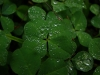 green-clover-hq-wallpapers-01