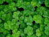green-clover-hq-wallpapers-07