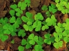 green-clover-hq-wallpapers-11