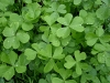 green-clover-hq-wallpapers-13