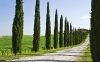 cypress trees line a driveway in Tuscany that leads to a villa; Italy