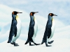 penguins-hq-pictures-and-wallpapers-547
