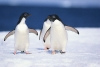 penguins-hq-pictures-and-wallpapers-550