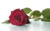 rose_009002