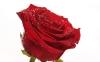 rose_009007