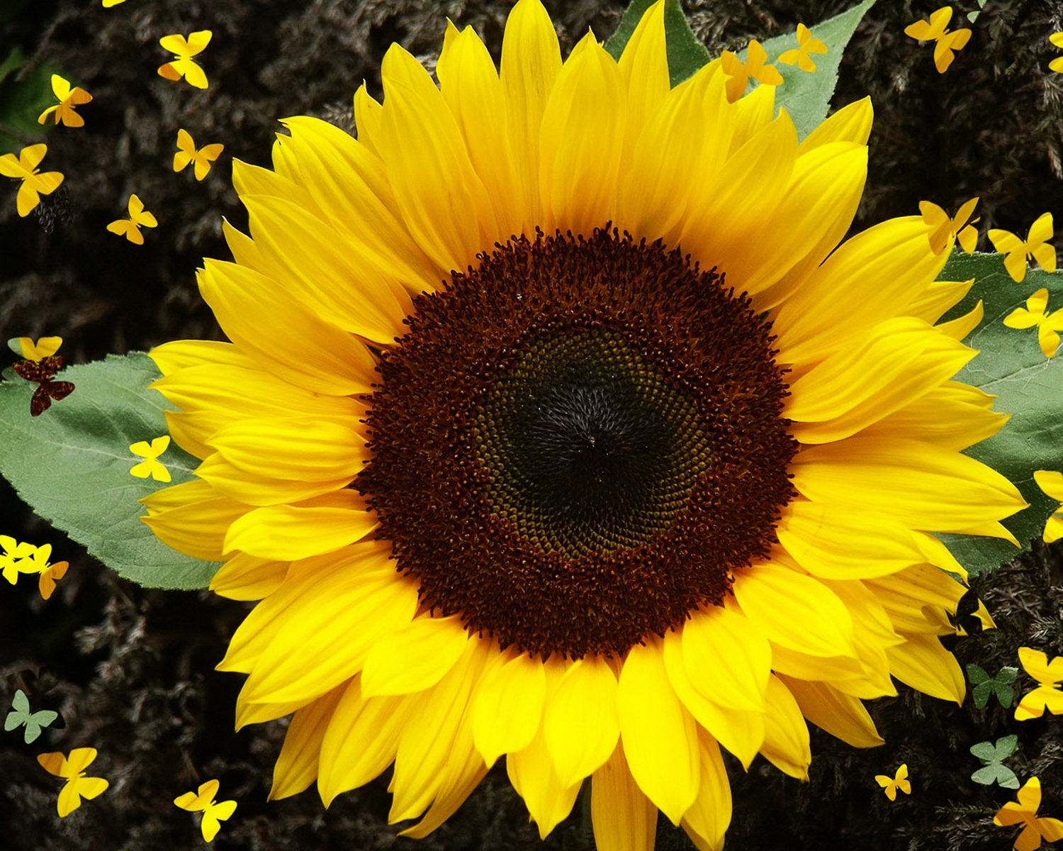 sunflower-hq-wallpapers-337