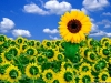 sunflower-hq-wallpapers-333