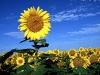 sunflower-hq-wallpapers-334