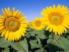 sunflower-hq-wallpapers-335
