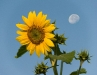 sunflower-hq-wallpapers-336