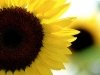 sunflower-hq-wallpapers-338